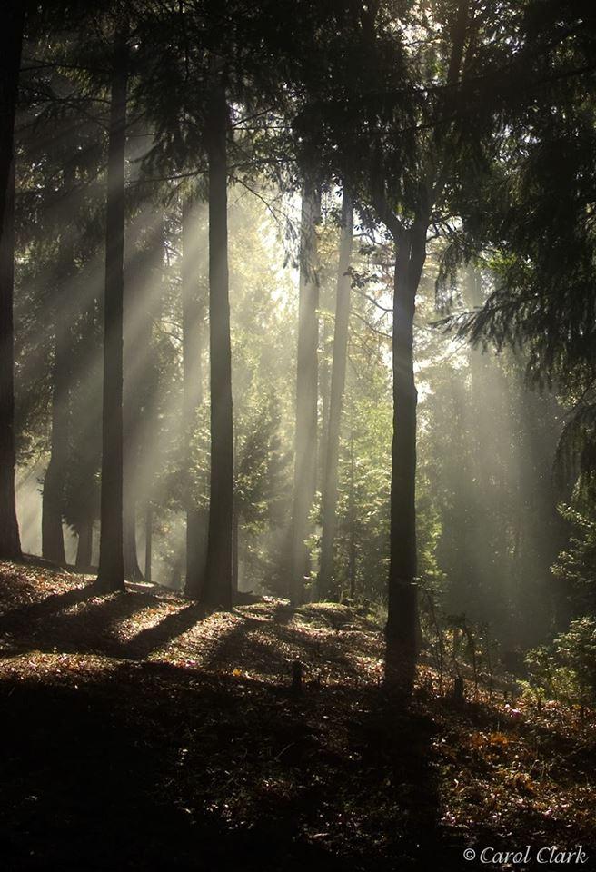 CarolClarkLightTrees.jpg
