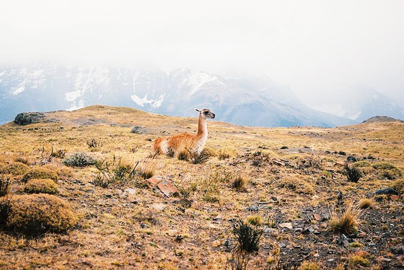 Llama film portrait in the Ands, Patagonia / Portrait argentique d'un llama dans les Andes, Patagonie