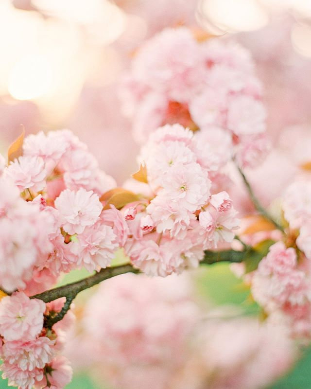 Sakura blossoms in the sunset glow. The older I get, the more closer to nature I feel 🌳.I don't like crowds. Indeed, highly overcrowded places like big cities 🌃 and festivals make me want to escape somewhere quiet and peaceful. Does anyone else feel the same out here? 🤔😊
