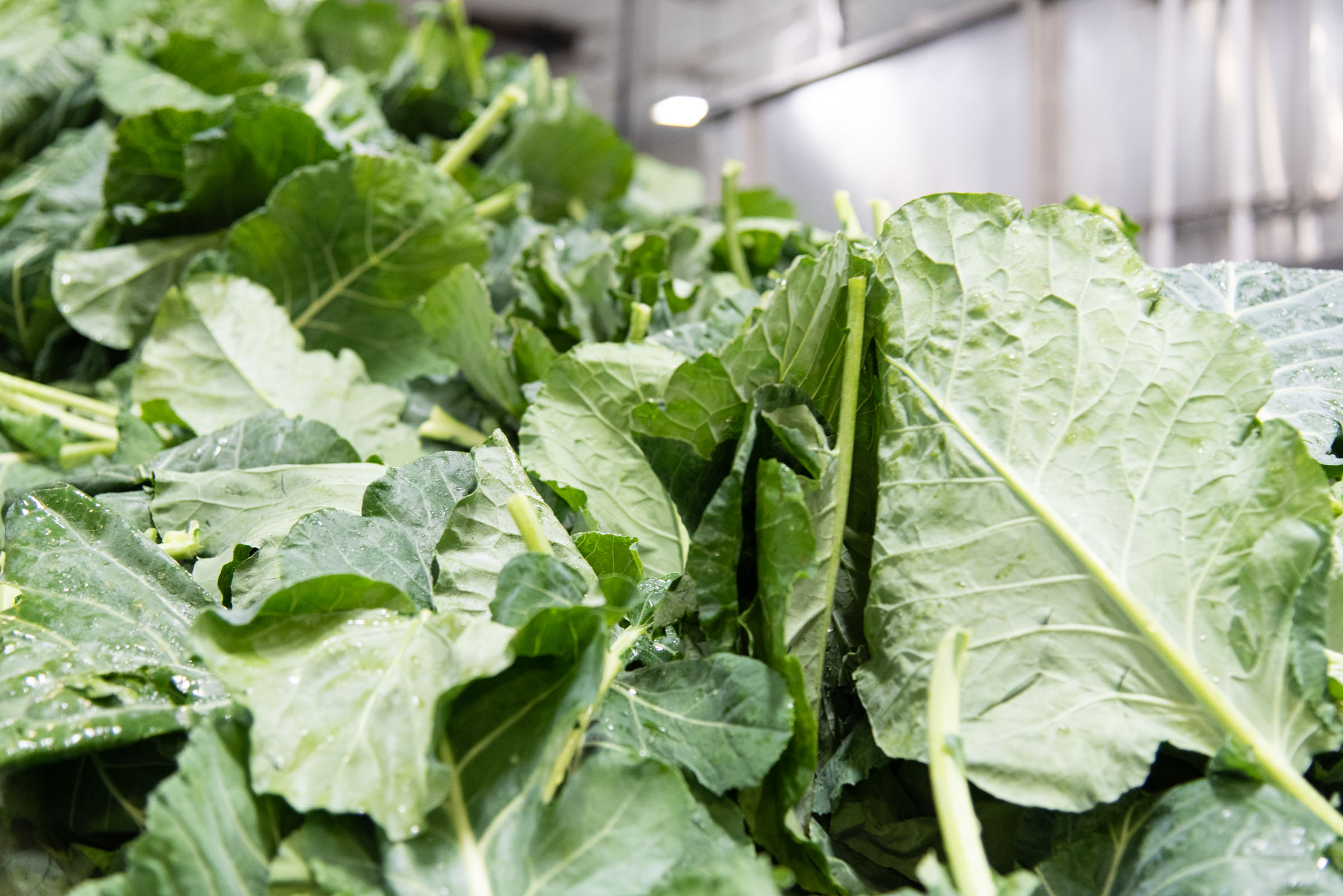 Collard greens entering our processing lines in Pelion, SC.