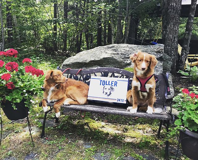 This week's Toller Tuesday is brought to you by Jasper and Whisper 😍- these gorgeous Toller pups are proud to sit beside their namesake beer 😝🍺👌🏻! • • • • #tollertuesday #nscraftbeer #eastcoast #localcraftbeer #puppylove #ducktollersofinstagram #tollertakeover #spindriftbrewing