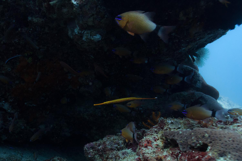 Orange pipefish