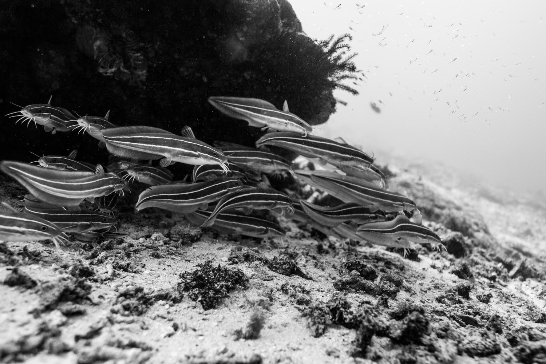 School of juvenile striped catfish
