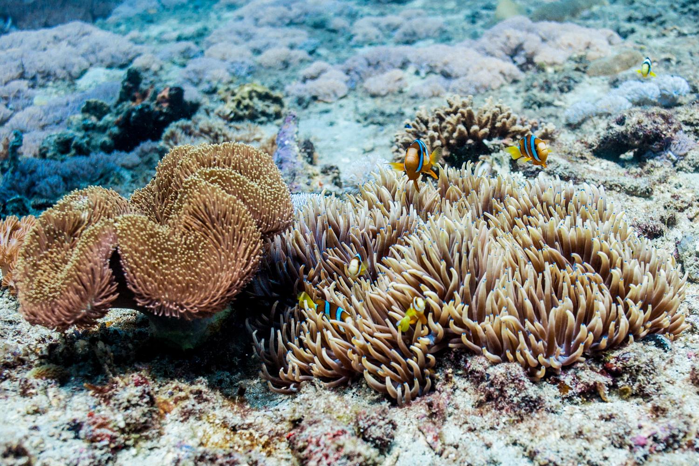 Clark's anemonefish