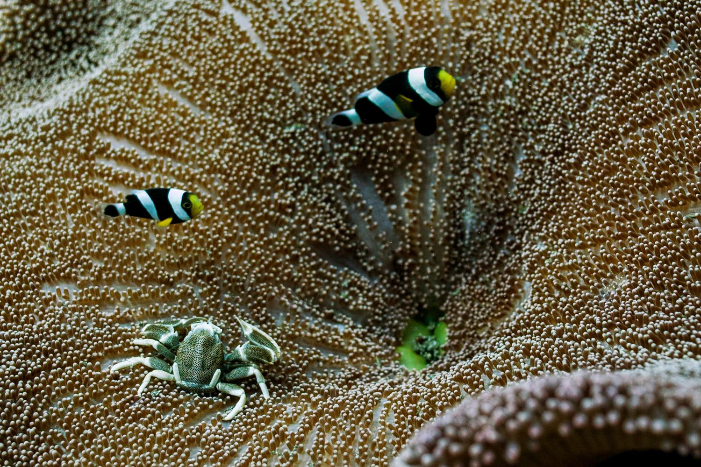 Saddleback anemonefish and spotted porcelain crab
