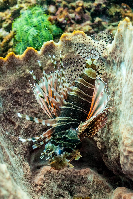 Zebra lionfish?