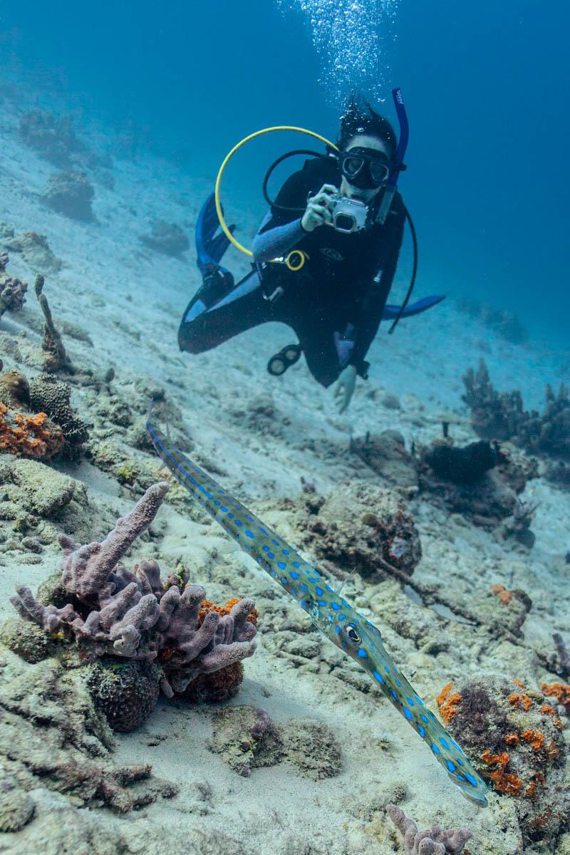 ~2ft long huge cornetfish