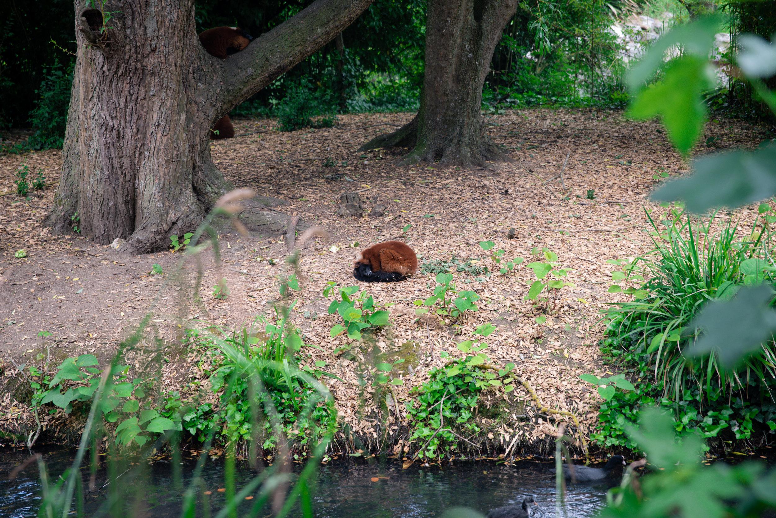 Red-Ruffed Lemur snoozing
