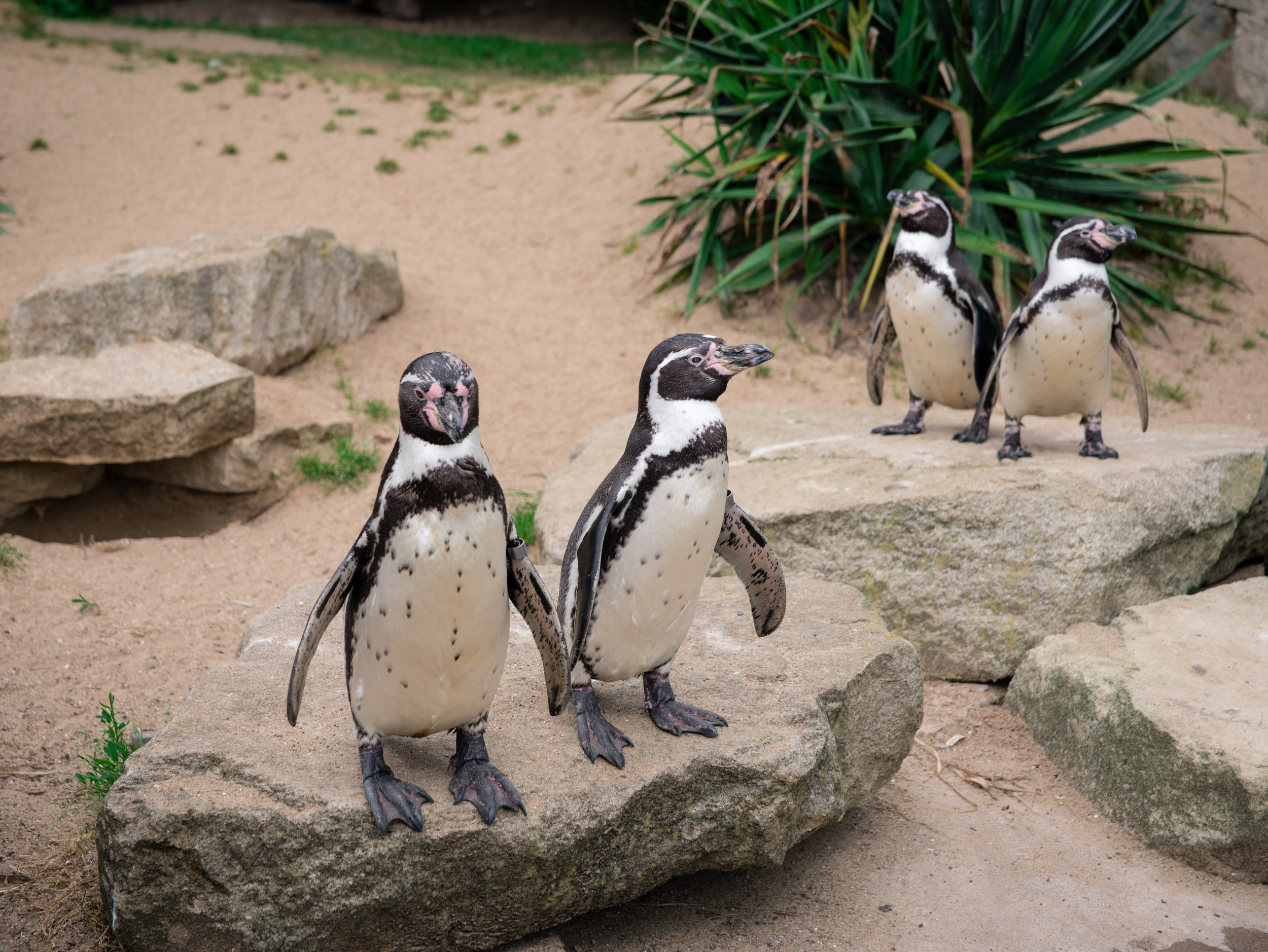 The mating penguins are the ones in the back! (Not the picture of course haha)