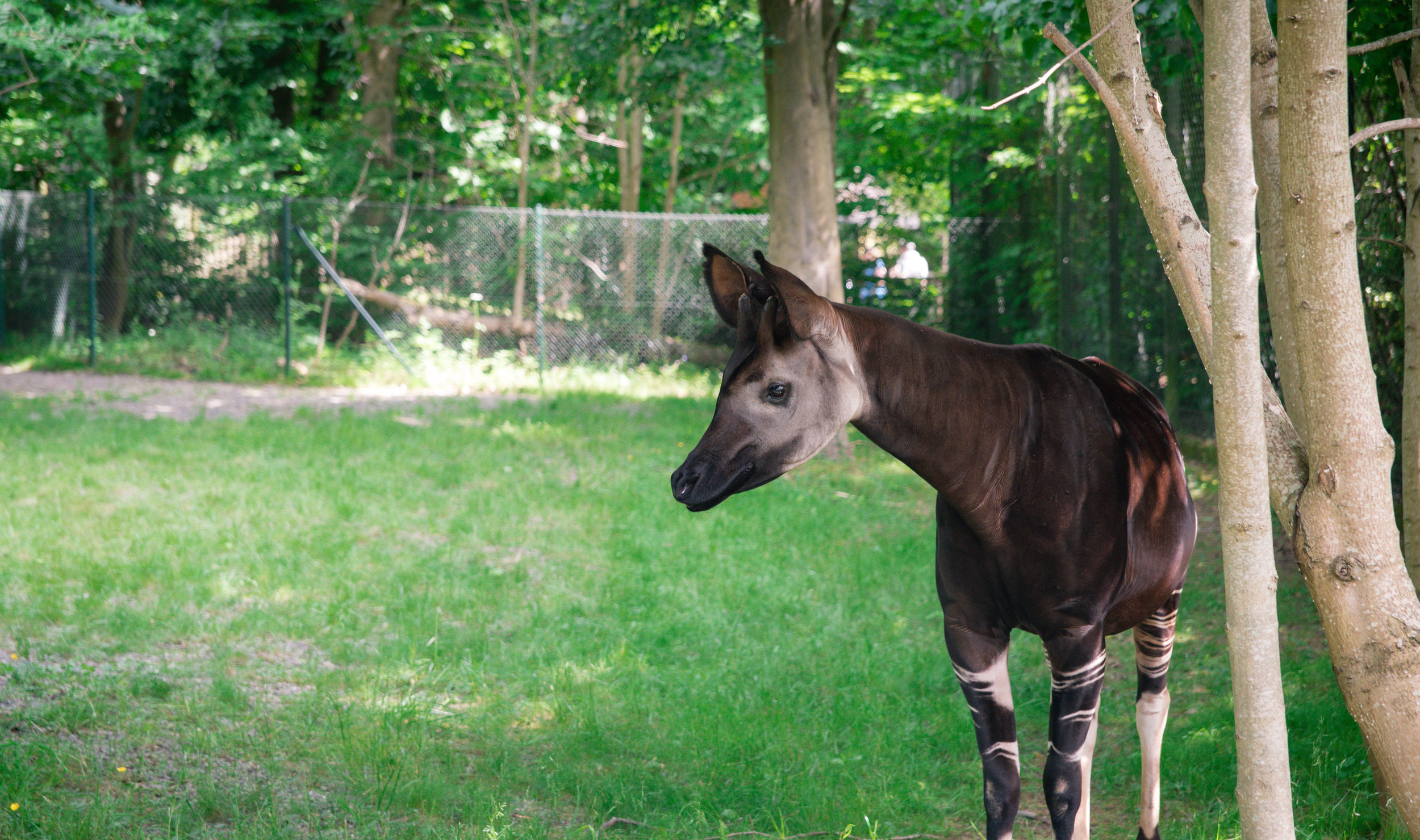Okapi!