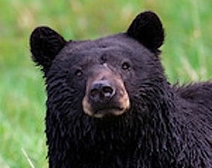 Wintergreen is Bear Smart. Learn how the WTG community and the bears live together  here .