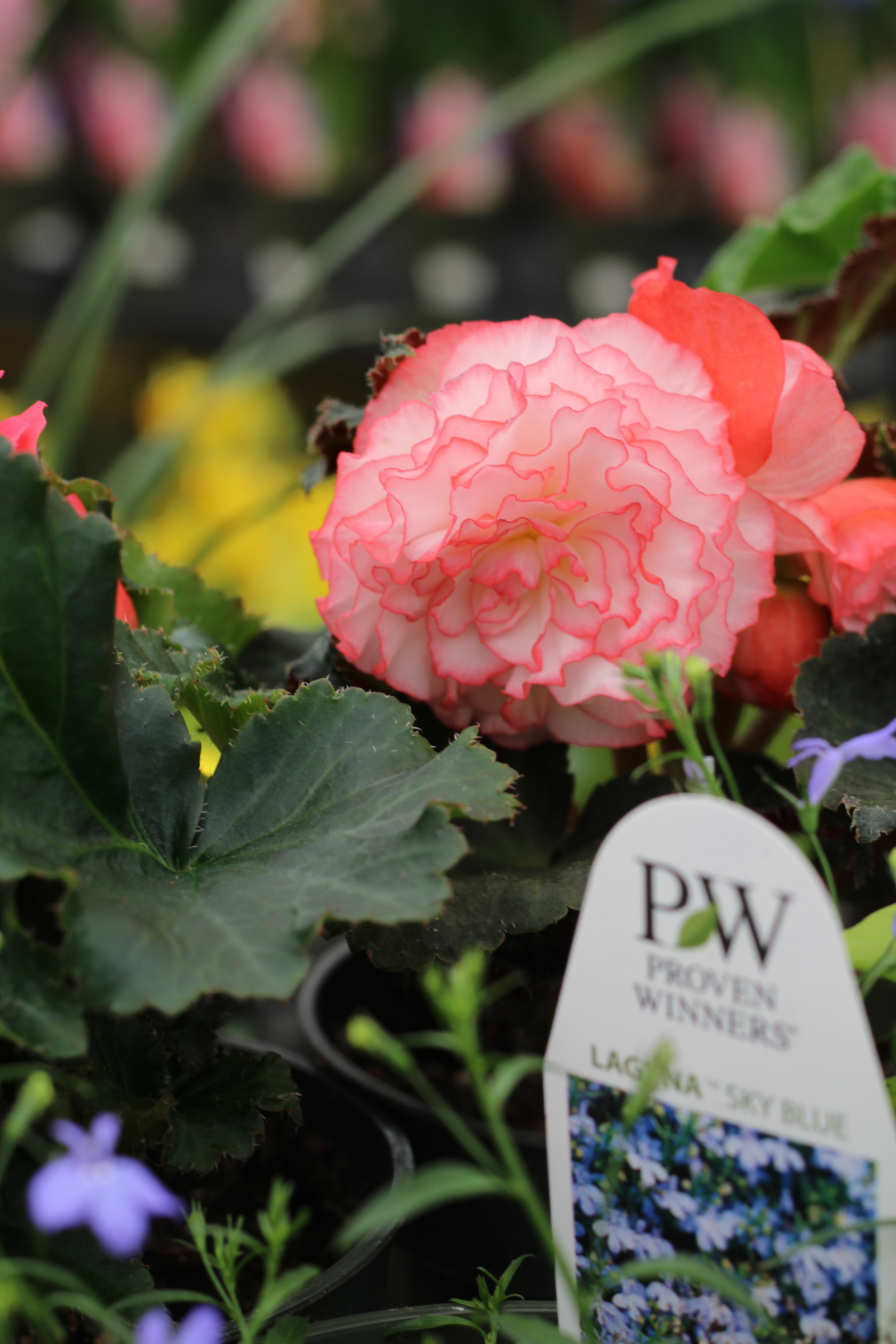 Begonias are a go to plant if you are placing a pot in a shadier location.