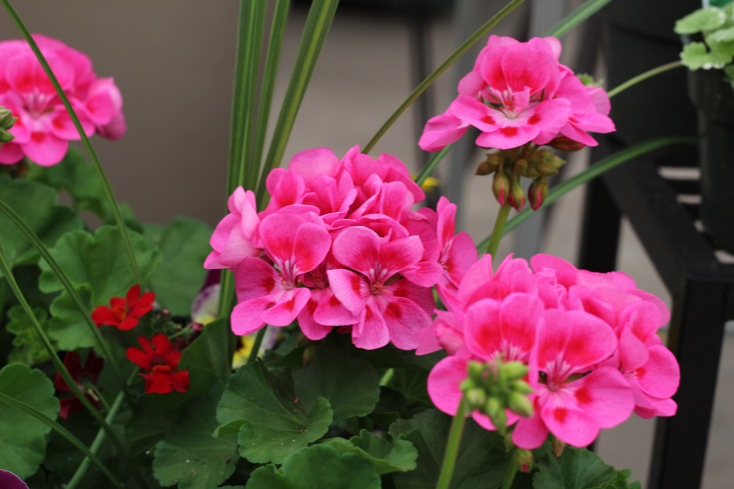 Geraniums come in a variety of colours and are a great medium height container plant for your sunny yard.