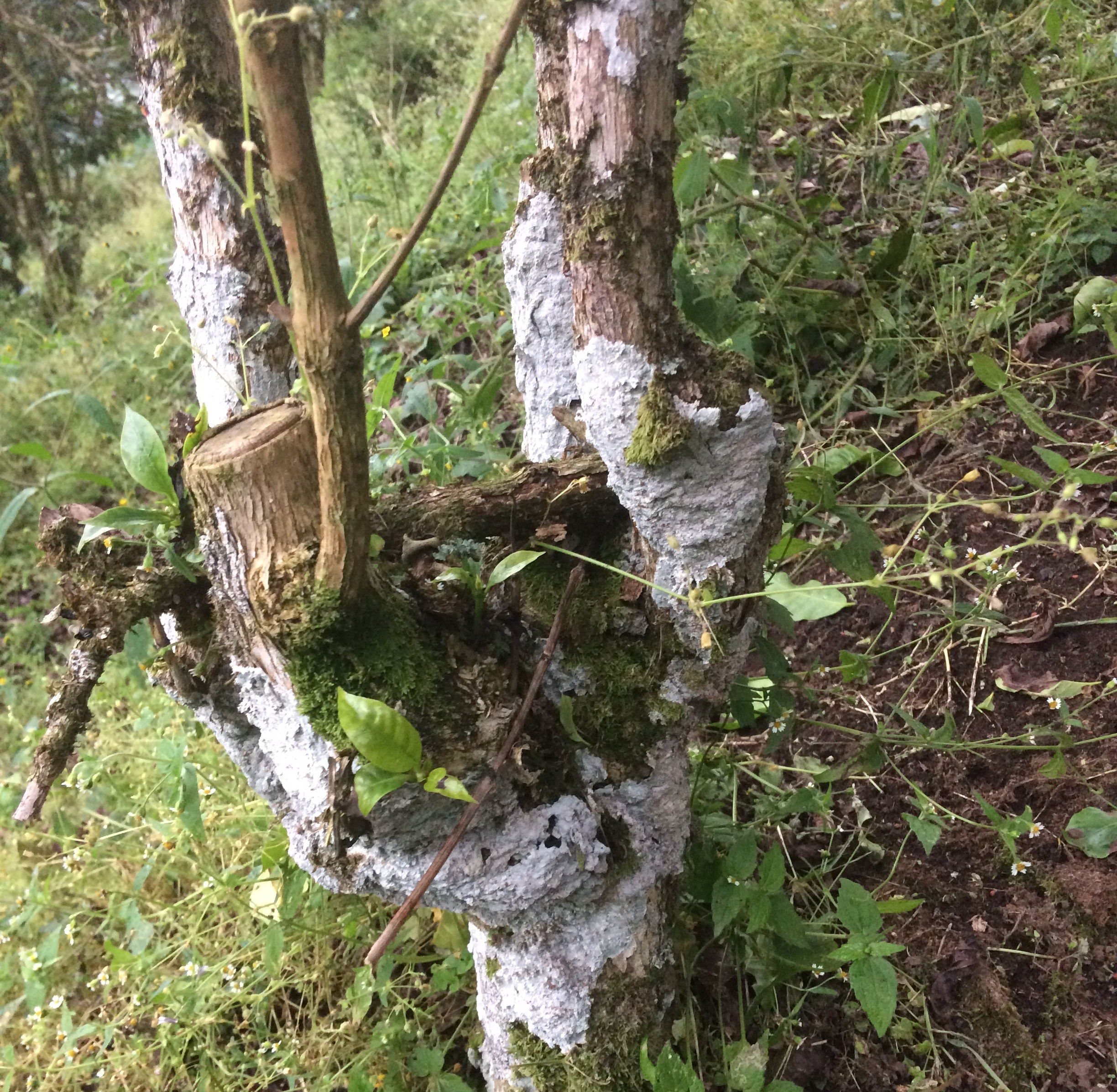 Lichen-covered trunk of one of the farm's 60-year old Bourbon trees.