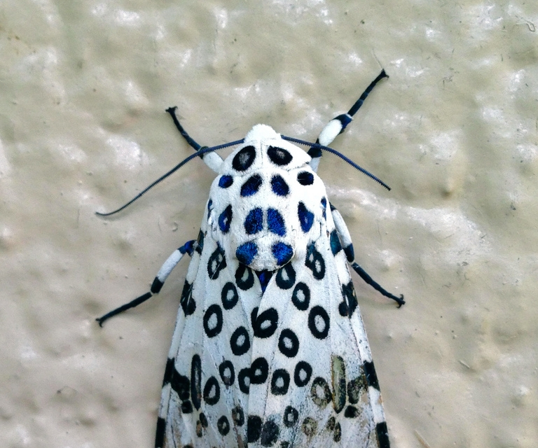 leopard moth.jpg