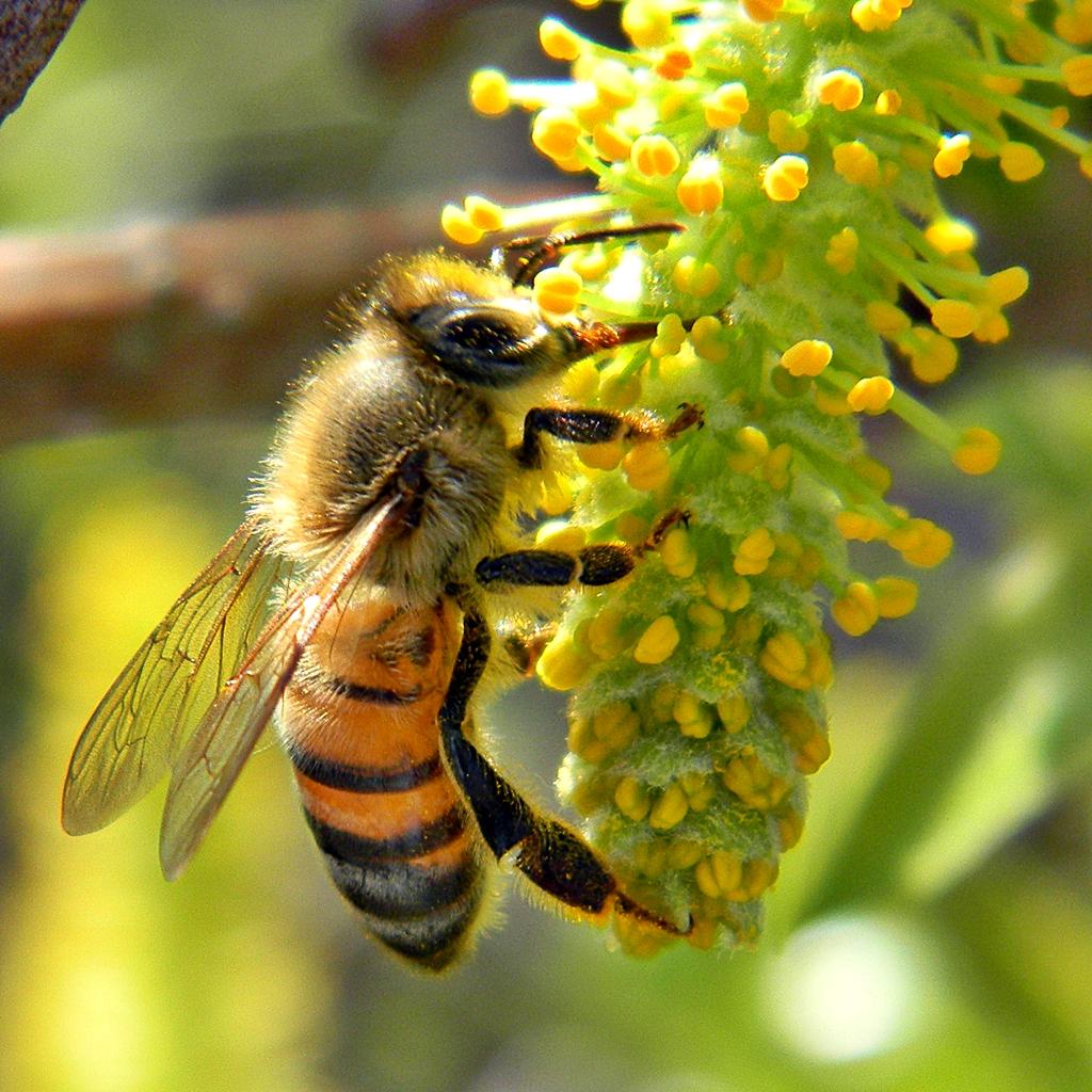 honeybee pic.jpg