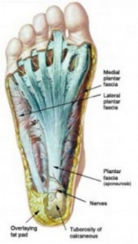 plantarfascia-anatomy-169x300.jpg