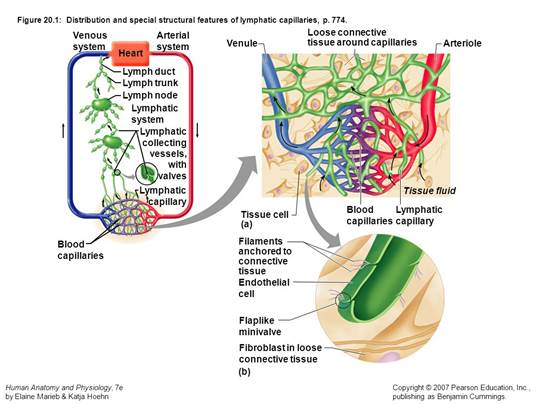 Lymphatic system and its interaction with the circulatory system