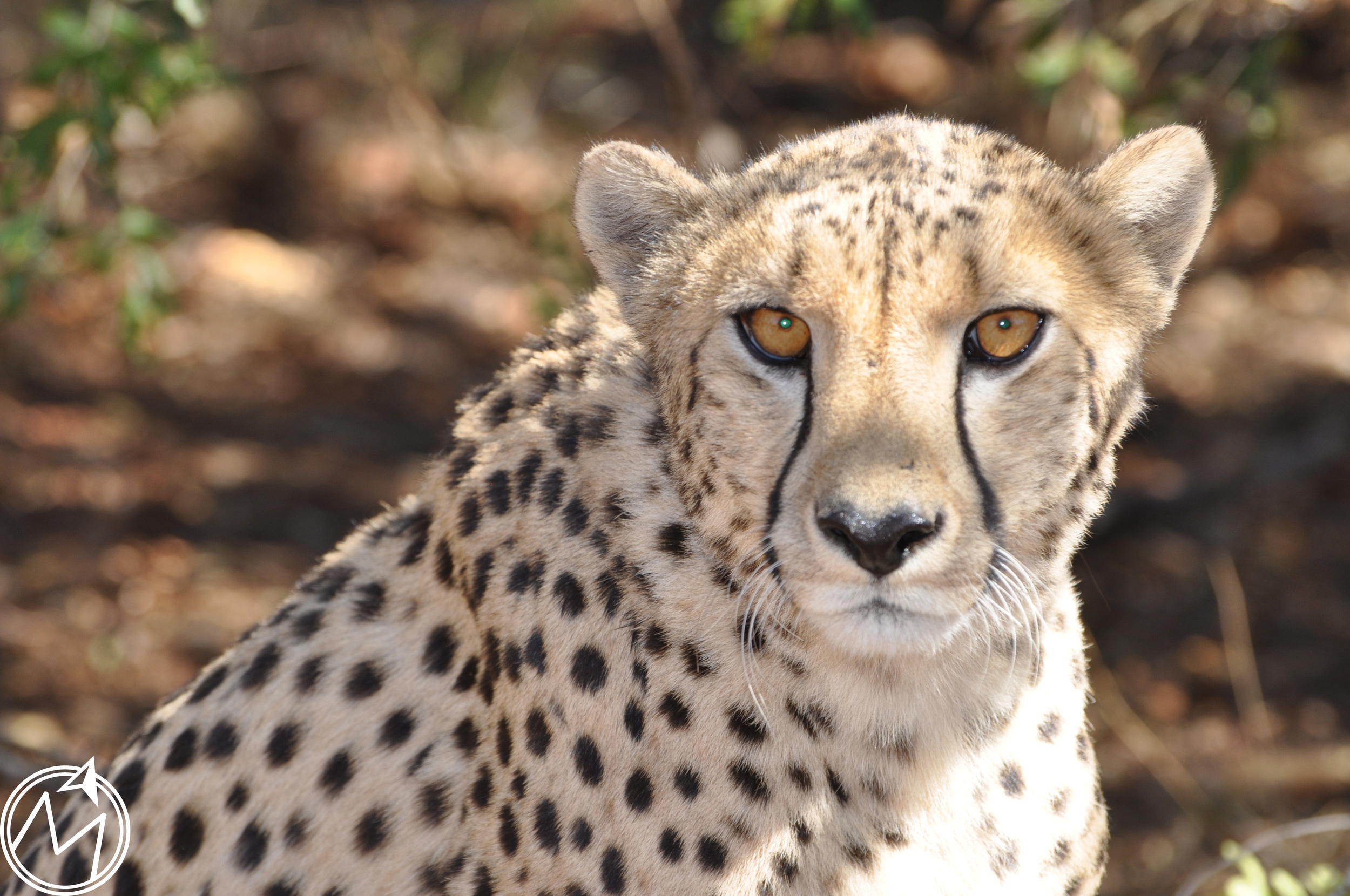 this was an older female cheetah in the preserve. i cannot get over her piercing eyes and how they never seemed to leave us. isn't she gorgeous?!