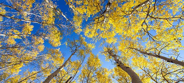 This 40x60-inch image, printed on lightweight aluminum, was easily the most popular print in the show. One man even drove by, saw the large print from the road and just had to stop and see the picture up close. (Aspens near the Great Meadow, 2012)