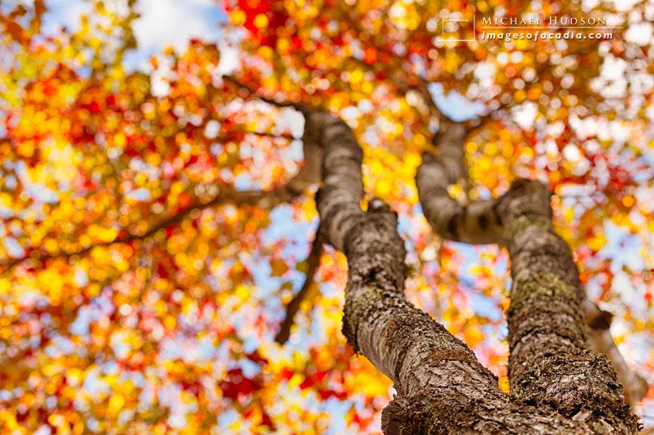 Maple Tree at Jordan Pond