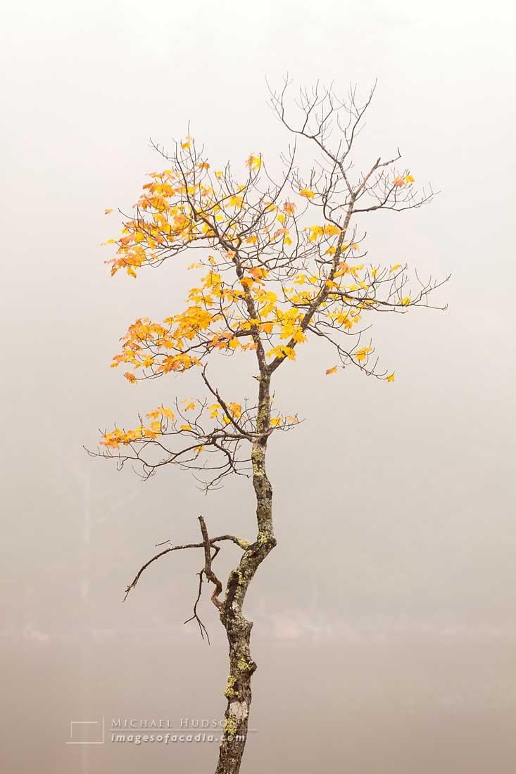 Solitary tree beside Jordan Pond