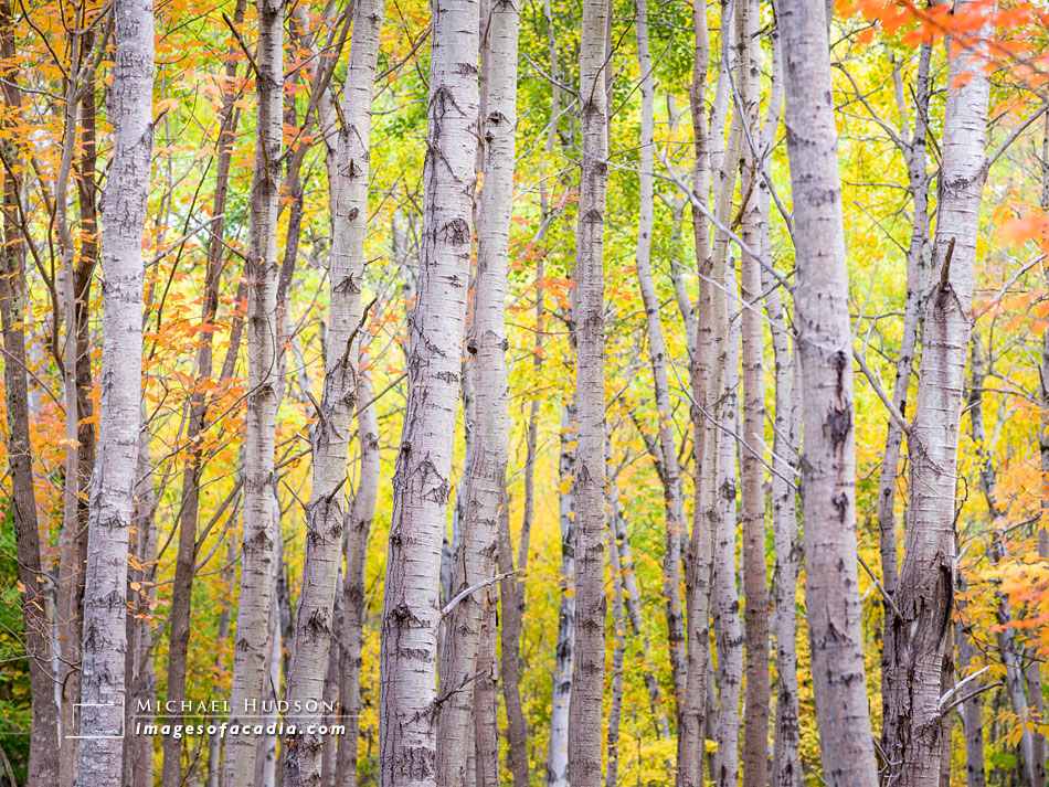 Birches near the Great Meadow