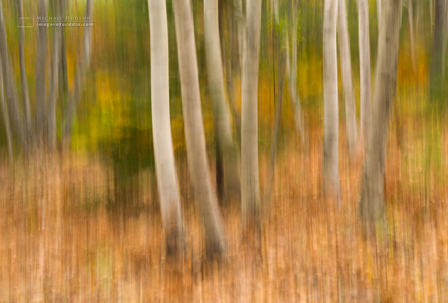 Birch trees, Acadia National Park, Maine, USA