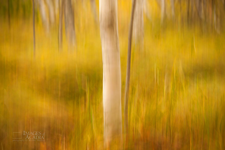 Paper Birch Tree Trunks, Sieur de Monts