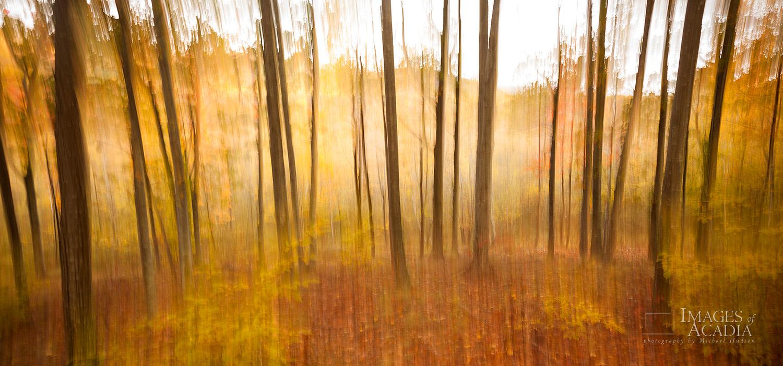 Birch Tree Trunks near the Great Meadow