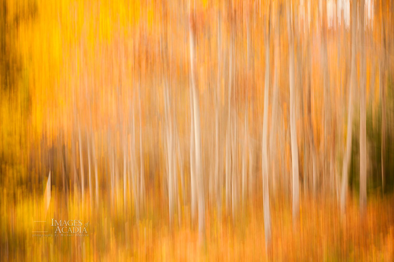 Birch trees near Otter Cliff Road