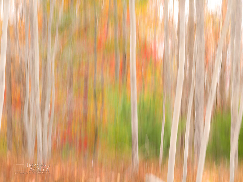 Abstract Aspen Trunks