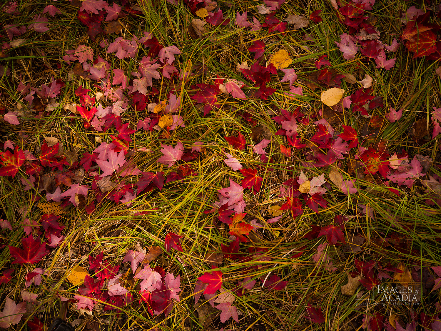 Fallen leaves on grass, Sieur de Monts