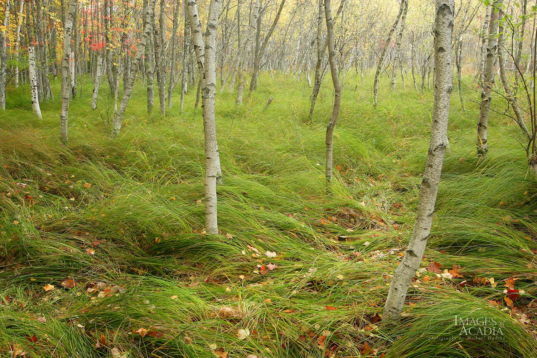 Birch tree forest, Sieur de Monts
