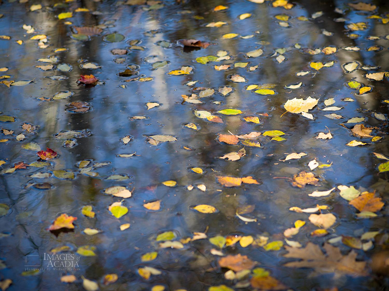 Floating autumn leaves, Sieur De Monts