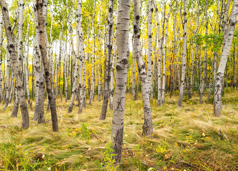 Birch woods near the Great Meadow