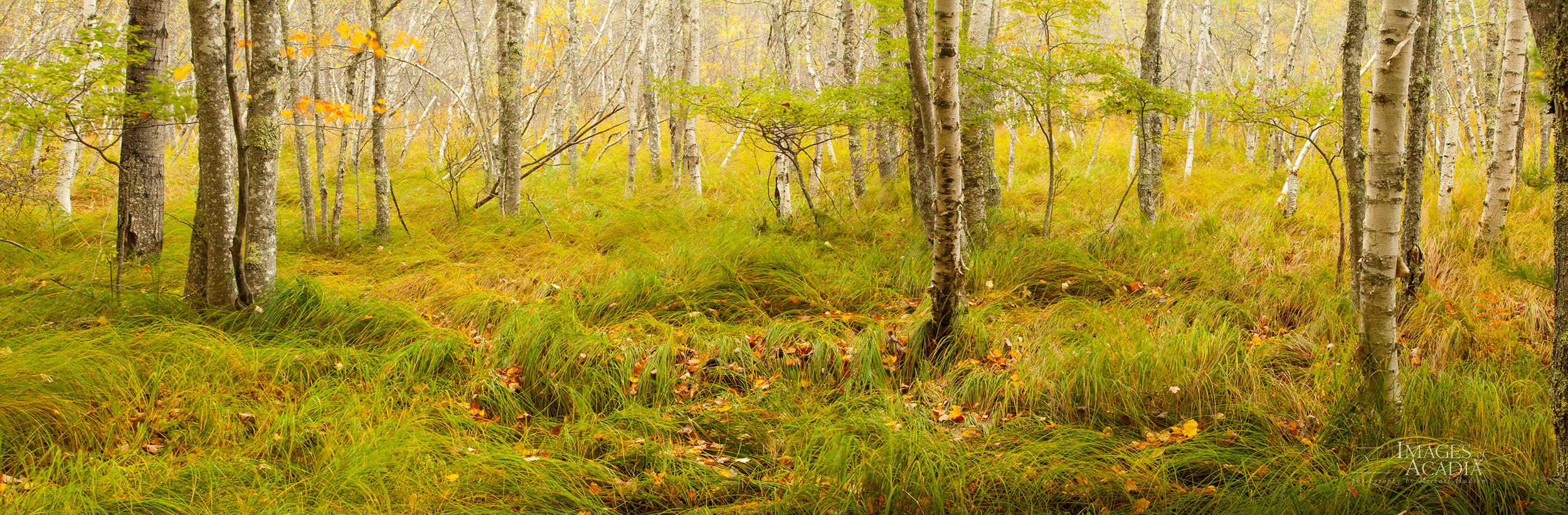 Birch woods at Sieur de Monts