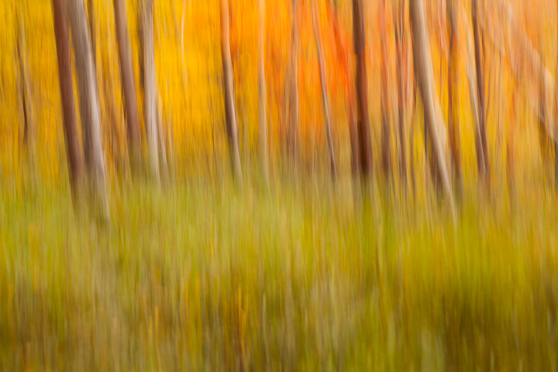 Birch Tree Trunks near the Great Meadow, Acadia National Park, M