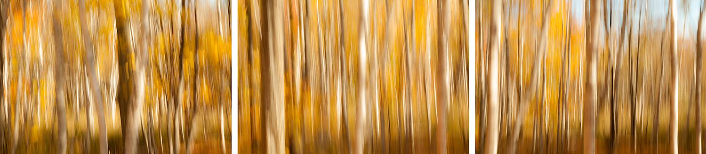 Birch trees along the base of Champlain Mountain, Acadia Nationa