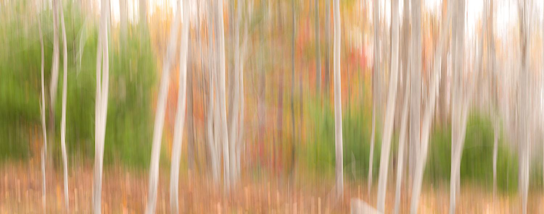 Abstract Aspen Trunks, Acadia National Park, Maine, USA