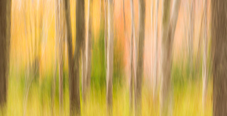Abstract Tree Trunks, Acadia National Park, Maine, USA