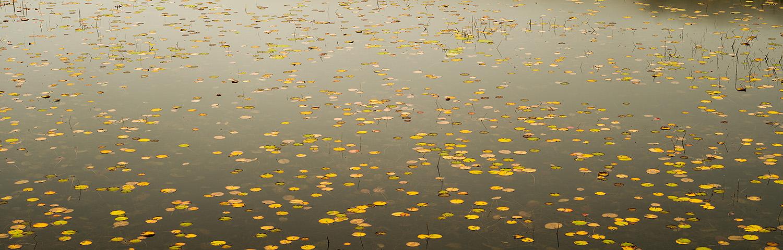 Lily pads, Breakneck Ponds, Acadia National Park, Maine, USA
