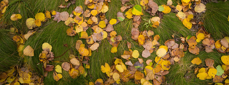 Fallen birch leaves near the Great Meadow, Acadia National Park,