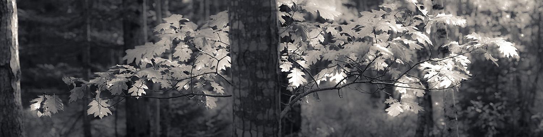 Oak trees, Acadia National Park, Maine, USA