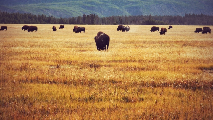You will be so excited to see the first herd of bison. There is so many around the park, and you will end up with a billion pictures.