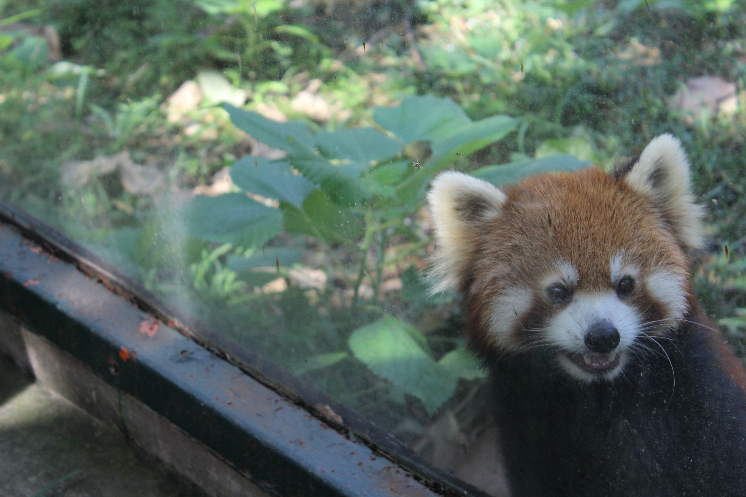 The red panda, also referred to as the lesser panda is no lesser in my heart