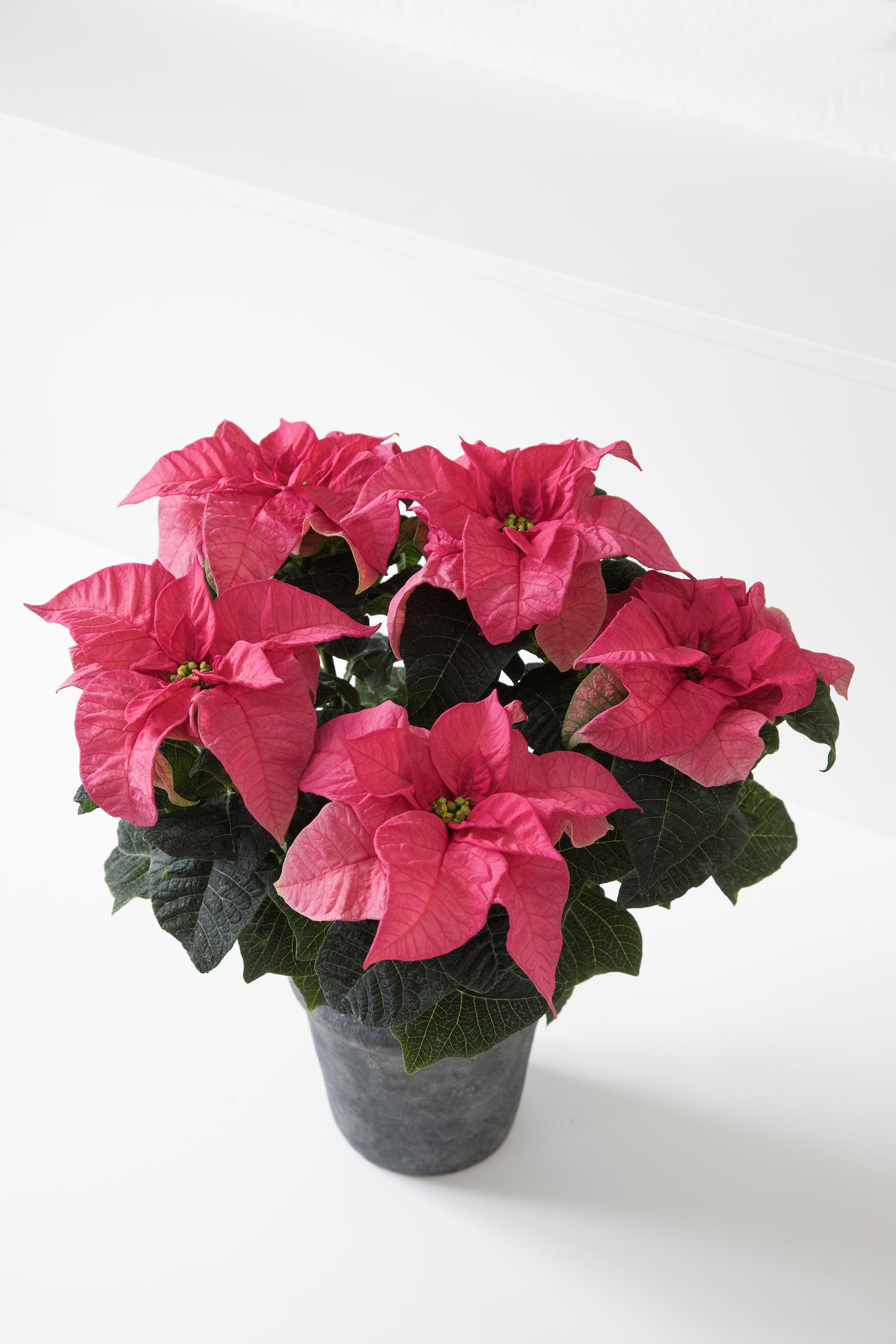Poinsettia Q-ismas Crunch Pink 12cm