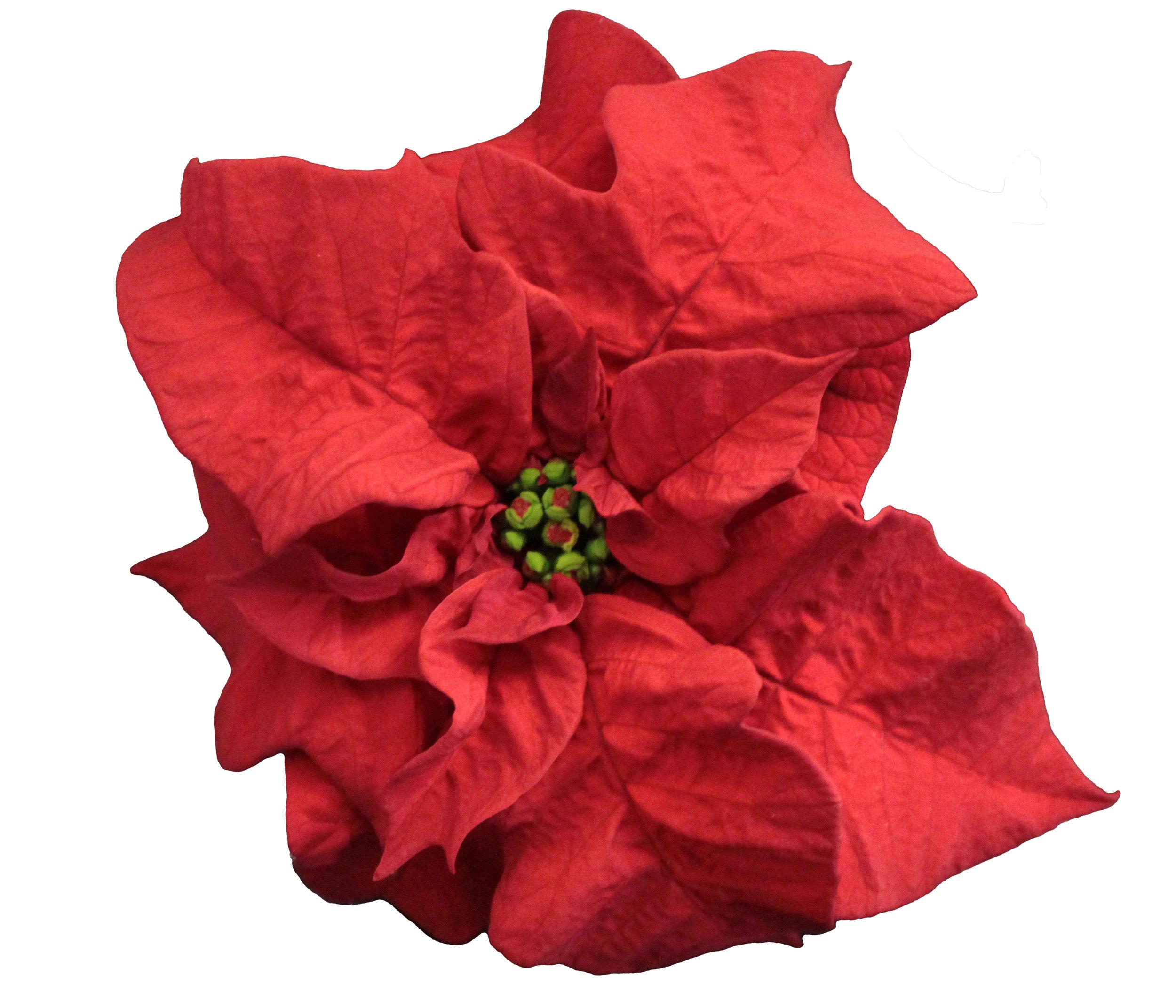 Poinsettia Q-ismas Crunch Red