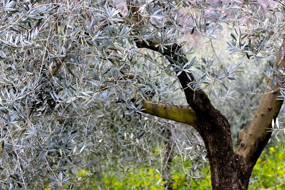 The Boot's Heel - Olive tree.jpg