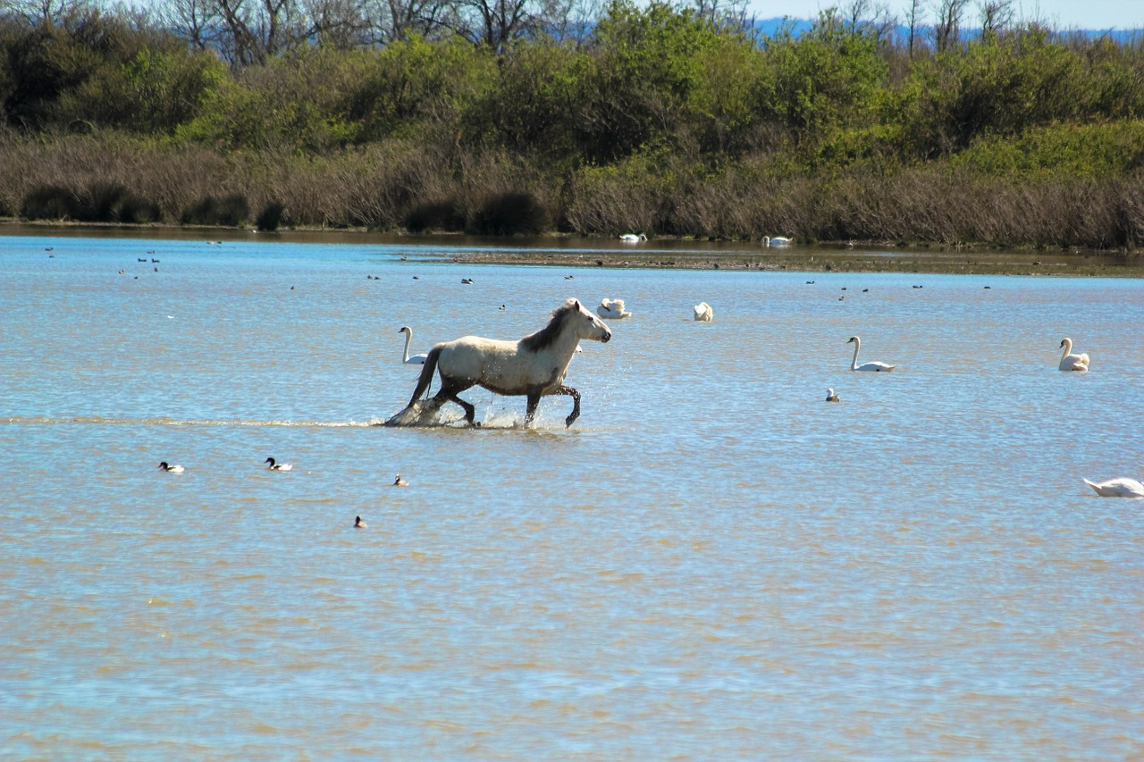 Xamargue horse and flamingos.jpg